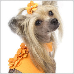 Chinese Crested dog wearing Susan Lanci Baily dog harness