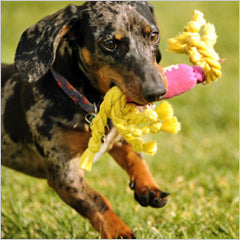 Dachshund with dog toy in mouth