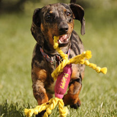 Dachshund with dog chew toy