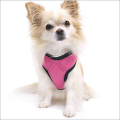 Chihuahua wearing car safety harness