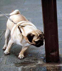 Pug sniffing pee on pole
