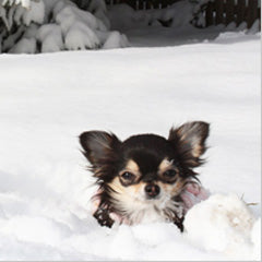 Chihuahua in deep snow