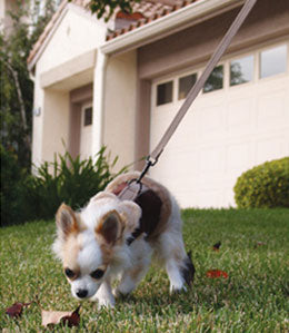 Chihuahua with harness on leash