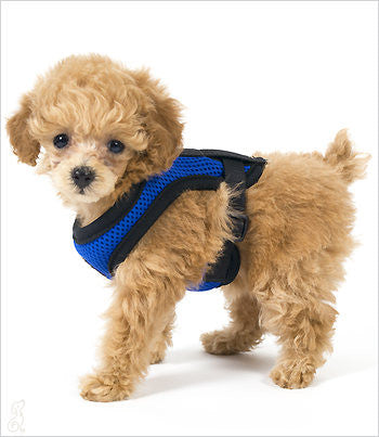 Dog Harness on Poodle