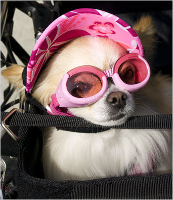 Chihuahua wearing pink doggles and sun visor