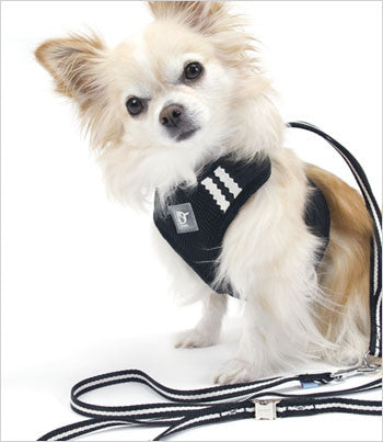 Chihuahua wearing black dog harness