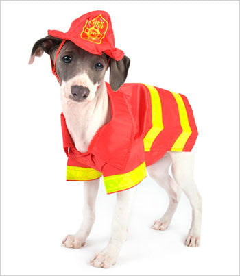 Italian Greyhound Wearing Fireman Dog Costume