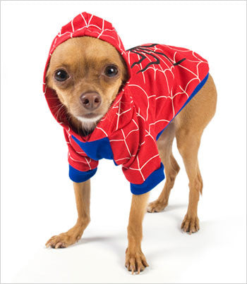 Chihuahua wearing Spider Dog Costume