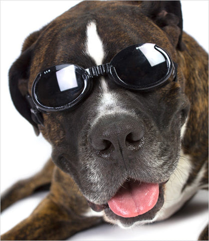 Doggles - Black Dog Googles on Boxer