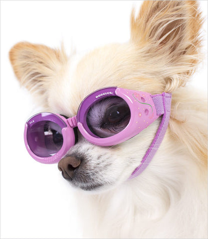 Chihuahua wearing Lilac Dog Googles