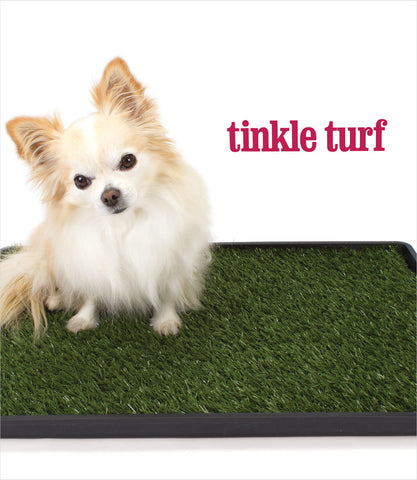 Chihuahua on Tinkle Turf dog potty