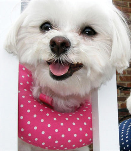Maltese wearing puppy bumper in Hot Pink
