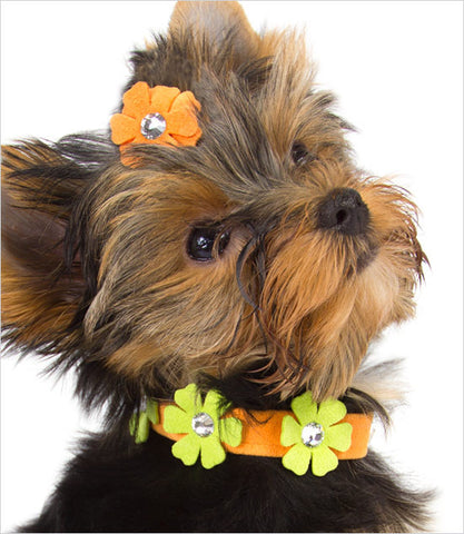 Yorkie Wearing Orange Petunia Dog Collar