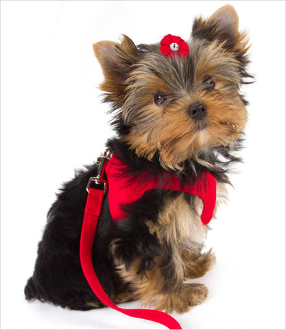 Yorkie Wearing Susan Lanci Red Step In Dog Harness