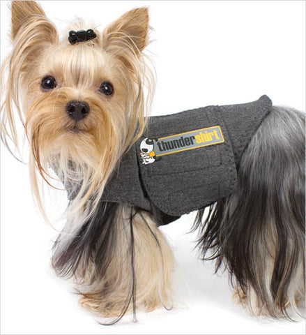 yorkie wearing grey thundershirt