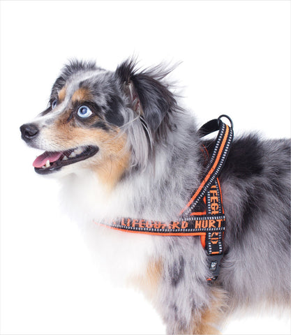Miniature Australian Shepherd in Orange Hurtta Padded Harness