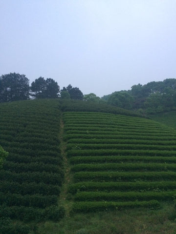 Tea fields of Anji