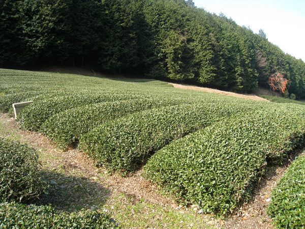 Sencha Tea Bushes