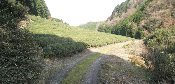 Tea Estate, Japan