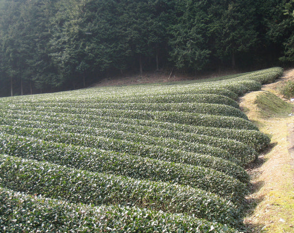 Tea Fields in Uji, Japan
