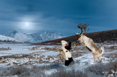 Catching Wild Bull West Taiga - Mongolia - Photographie d'Hamid Sardar