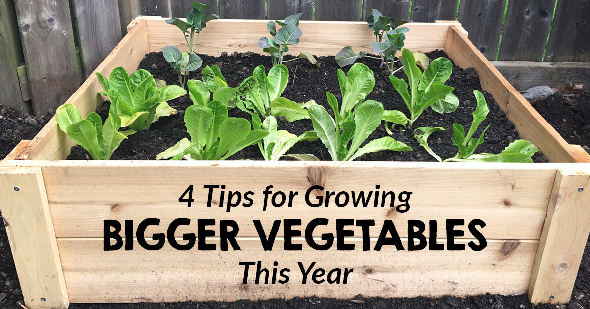 4 Tips for growing bigger vegetables this year