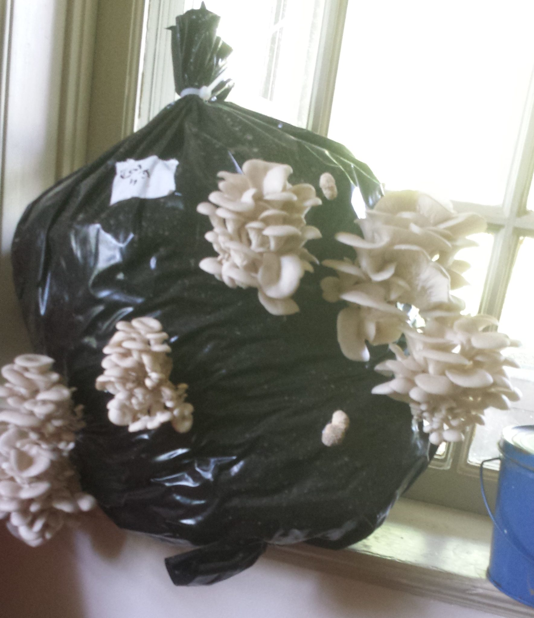 How to grow mushrooms at hone: Growing oyster mushrooms
