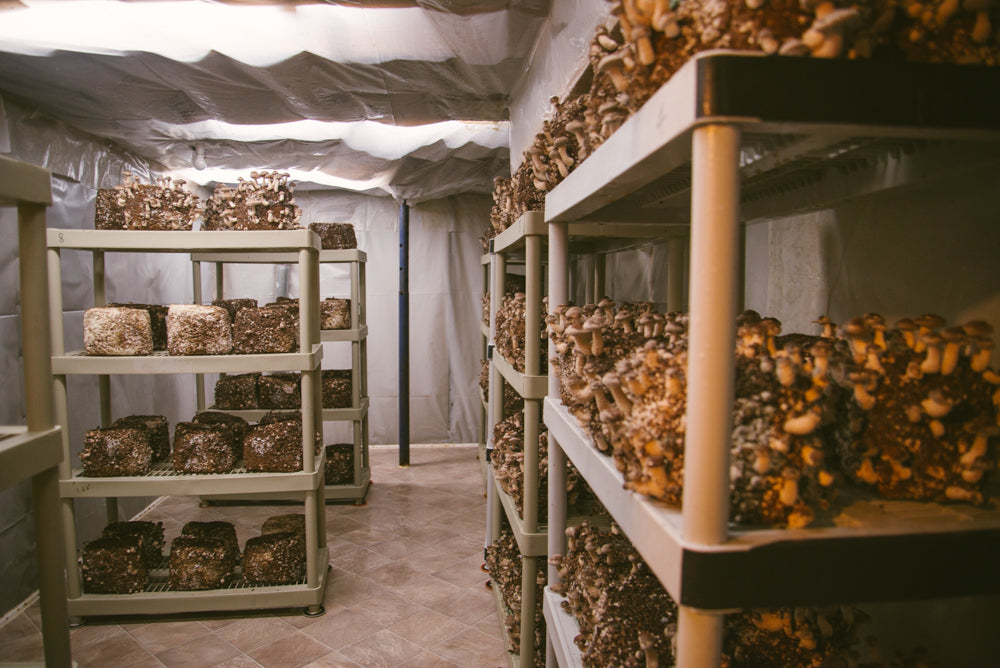 Starting a mushroom farming business: Growing mushrooms indoors at a commercial mushroom farm.