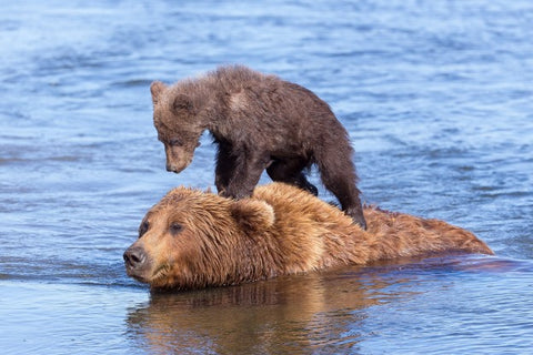 Cub standing on top of mother coming out of water