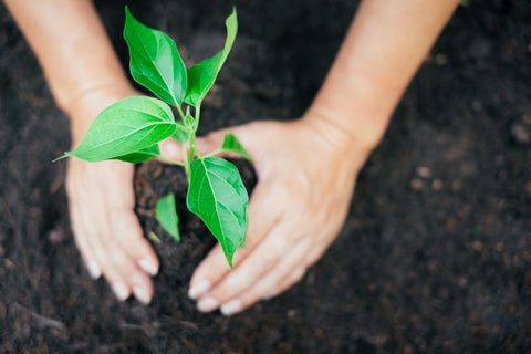 Sapling being planted in dirt