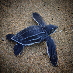 Baby leatherback turtle on the sand