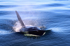 Humpback whale in the ocean