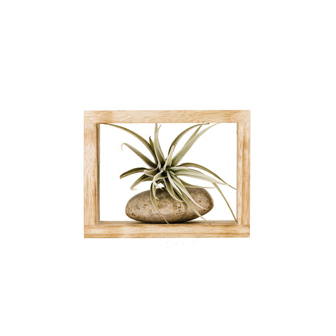 Assorted Air Plant