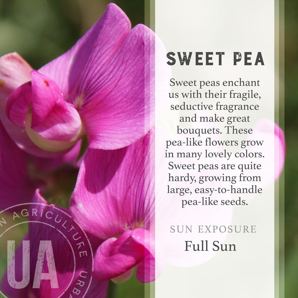Sweet Pea Seed Box
