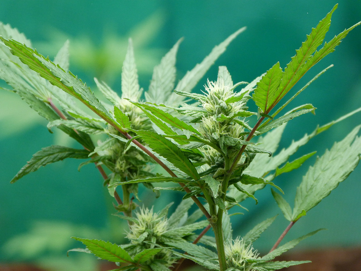 Take a tour of the hemp plant, unravel its treasure trove of uses & see how can one plant can have so many applications.