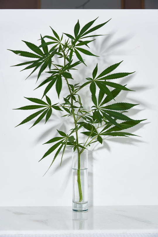 A green hemp plant with stalk and leaves in a glass jar vase on a bench.