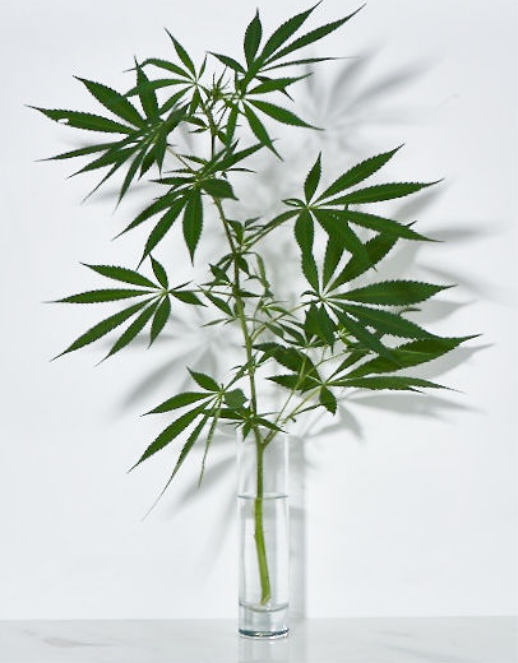 Sagely Naturals CBD-rich Hemp Leaves in a Vase