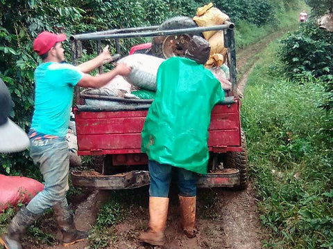 Bringing In the Coffee Harvest - December 2017