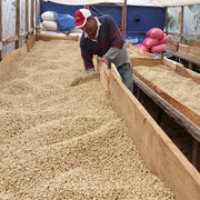 Sun dried green coffee on the Velasquez family coffee farm in Honduras. Green coffee is part of the fundraiser selections.