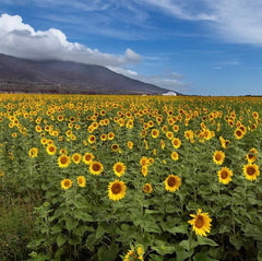 Field of Sunflowers on Maui