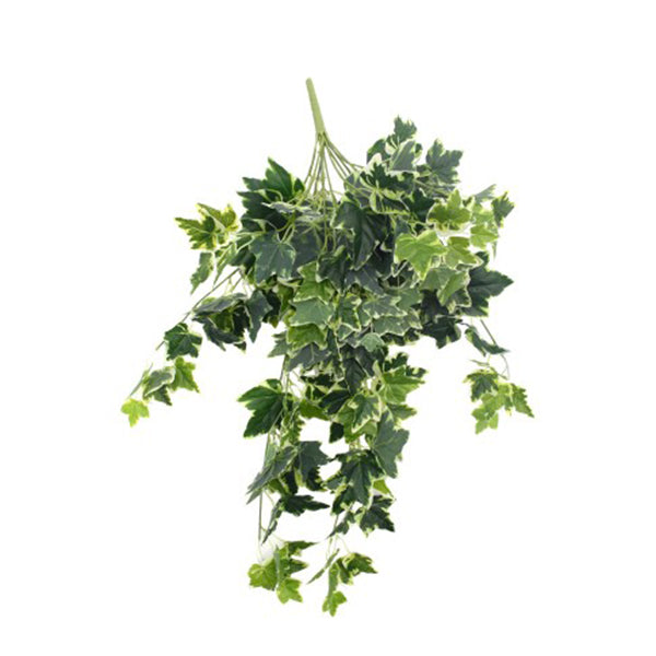 Mixed Green And White Tipped Ivy Bush 100 Cm