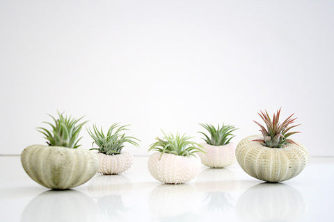 Sea Urchin Air Plant