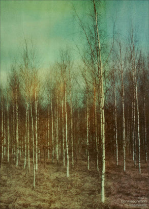 Birches photo poster from Dan Isaac Wallin
