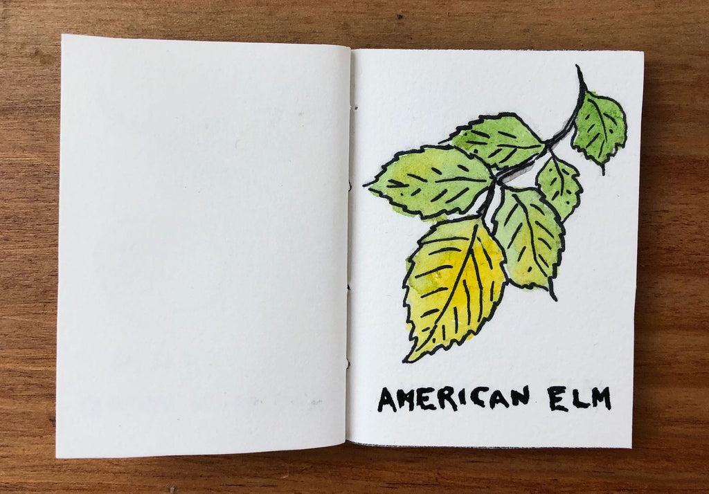 American Elm Tree Illustration