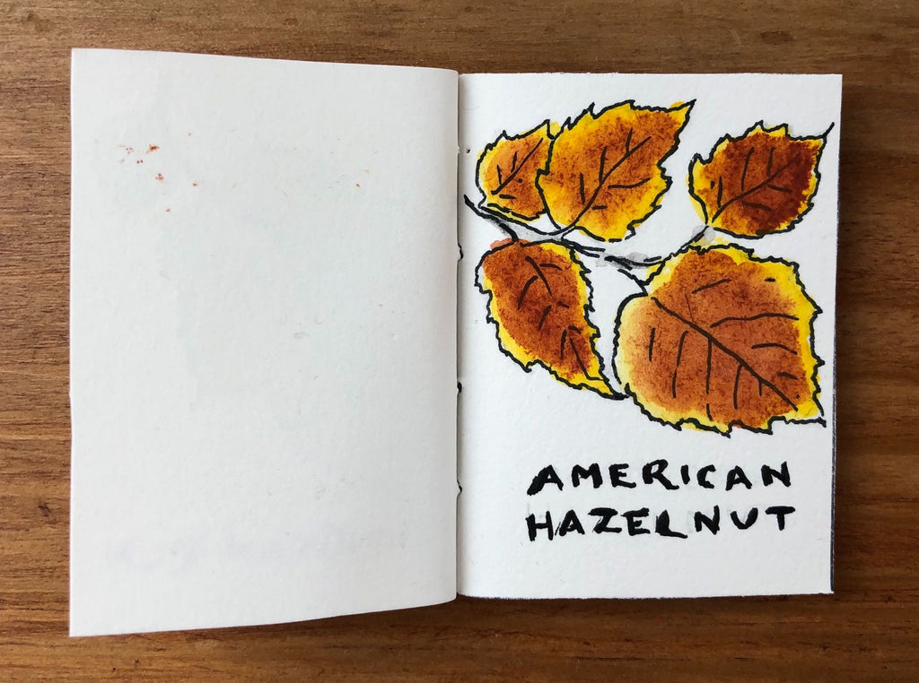 American Hazelnut Tree Illustration