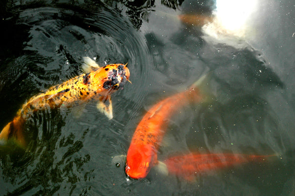 """Alamo Koi"" ~ Image of beautiful gold and orange koi fish that swim in a pond at the Alamo Mission, San Antonio, TX."