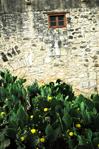 """Alamo Window"" ~ Image of a section of rock wall with a small window set behind dark green cactus at the historic Alamo Mission in San Antonio, TX."