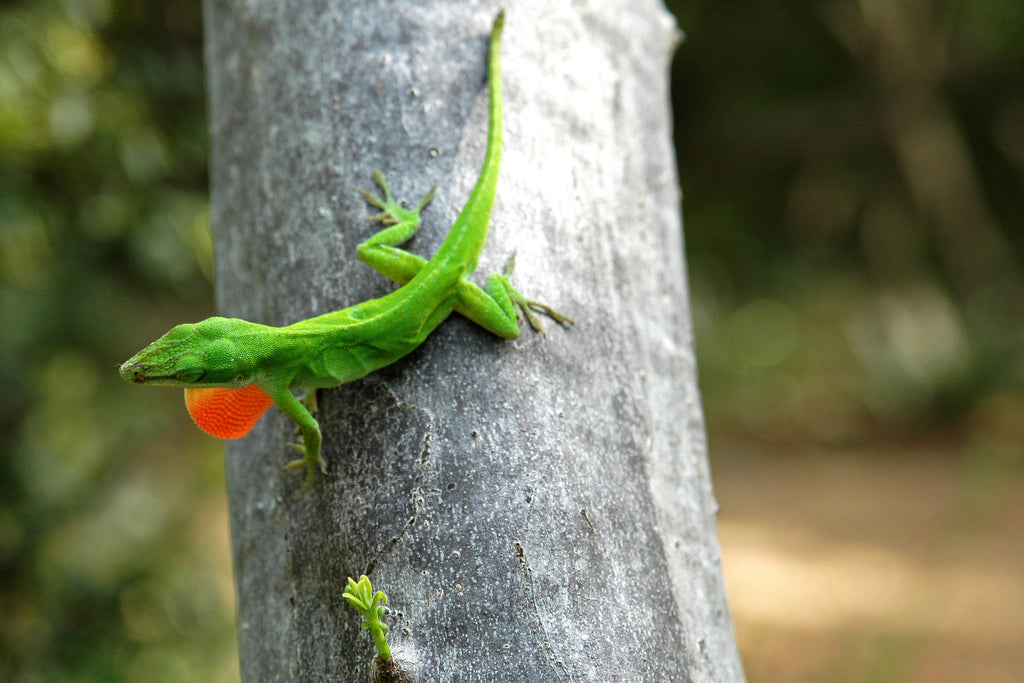 """Anole"" ~ Green anole lizard on tree with puffed out orange throat in Zilker Park in Austin, TX."