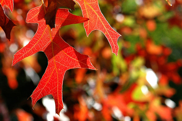 """Autumn Red"" ~ Close up of a red oak leaf in Austin, TX."
