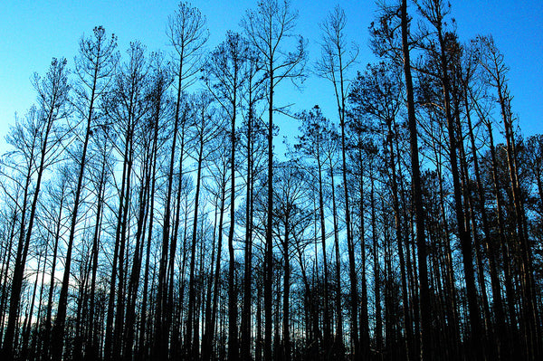 """Bastrop Pines"" ~ Pine trees at twilight after a fire in Bastrop, TX."